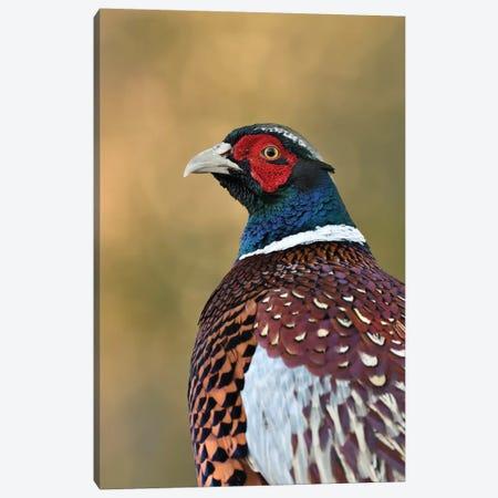 Autumn Pheasant Canvas Print #DEM6} by Dean Mason Canvas Print