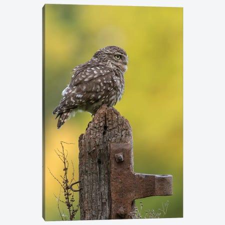 Resting Little Owl Canvas Print #DEM70} by Dean Mason Canvas Print
