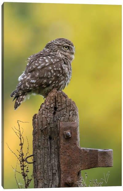 Resting Little Owl Canvas Art Print
