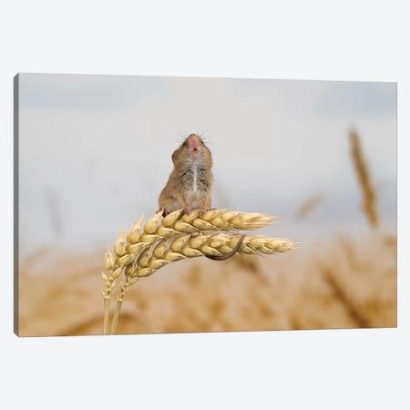 Shall I Go Higher - Harvest Mouse Canvas Print #DEM75} by Dean Mason Canvas Wall Art