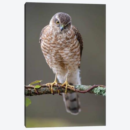 Sparrowhawk Male I Canvas Print #DEM78} by Dean Mason Art Print