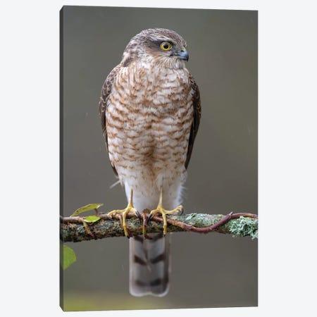 Sparrowhawk Male II Canvas Print #DEM79} by Dean Mason Canvas Print