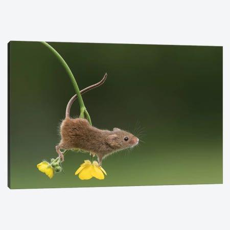 The Acrobat - Harvest Mouse Canvas Print #DEM85} by Dean Mason Canvas Print