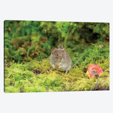 Bank Vole And Apple Canvas Print #DEM8} by Dean Mason Canvas Art