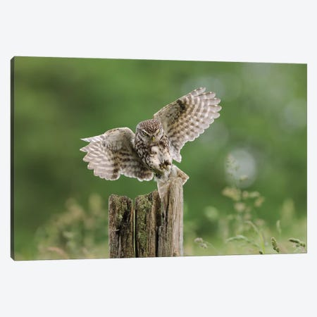 The Intent - Little Owl Canvas Print #DEM94} by Dean Mason Canvas Wall Art