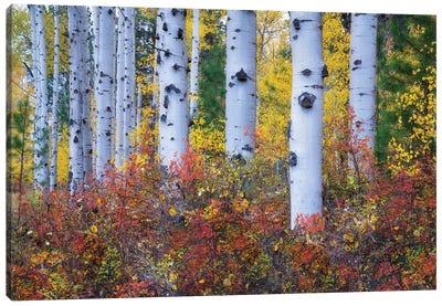 Aspen Color Canvas Art Print