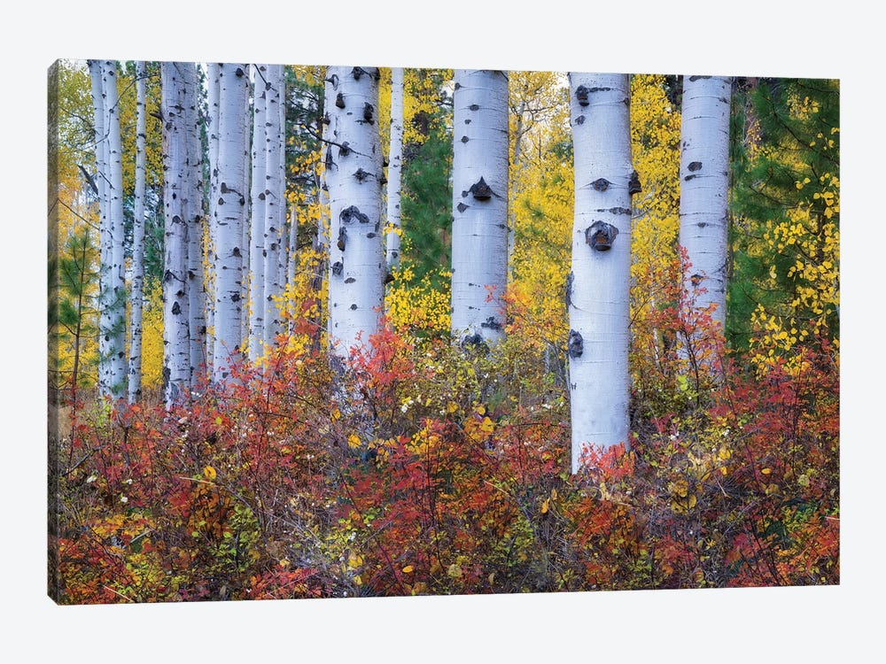Aspen Color by Dennis Frates 1-piece Canvas Wall Art