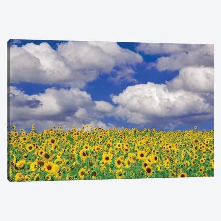 Sunny Sunflowers Canvas Print #DEN332} by Dennis Frates Canvas Wall Art