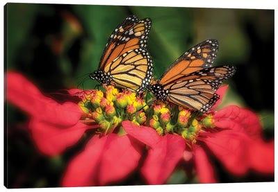 Monarch Butterflies IV Canvas Art Print