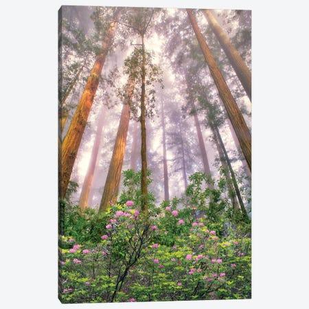 Redwood Sunrise Canvas Print #DEN763} by Dennis Frates Canvas Art Print