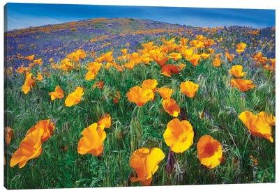 California Poppies II Canvas Art Print