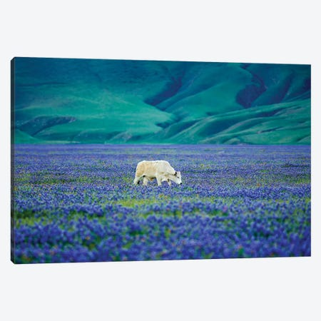 Cows In Lupine II Canvas Print #DEN82} by Dennis Frates Canvas Print