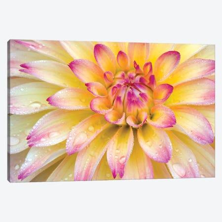 Dahlia Close Up Canvas Print #DEN830} by Dennis Frates Art Print