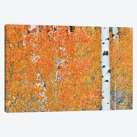 Hidden Aspens Canvas Print #DEN832} by Dennis Frates Art Print