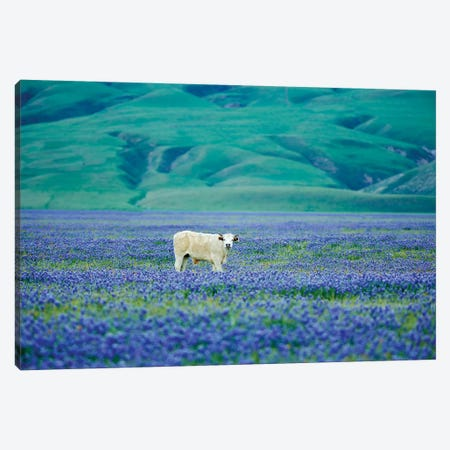 Cows In Lupine III Canvas Print #DEN83} by Dennis Frates Art Print