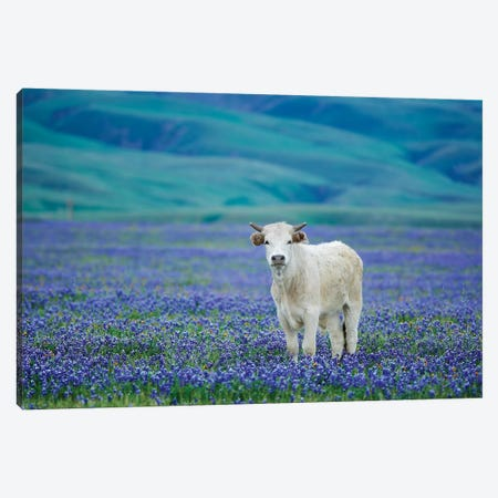 Cows In Lupine IV Canvas Print #DEN84} by Dennis Frates Canvas Wall Art