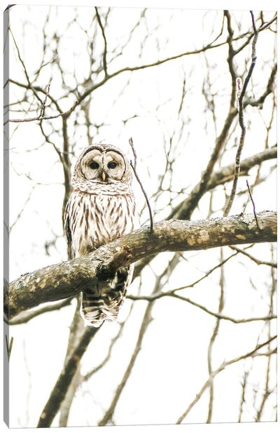 Barred Owl In The Wild Canvas Art Print