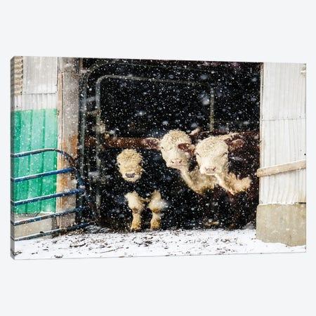 Winter Cows In Barn Canvas Print #DEO140} by Debbra Obertanec Canvas Artwork
