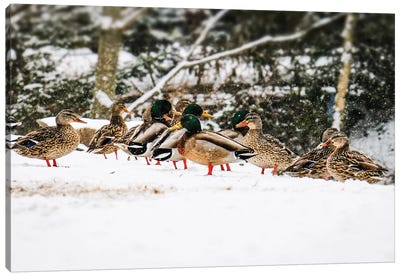Mallards In The Snow Canvas Art Print
