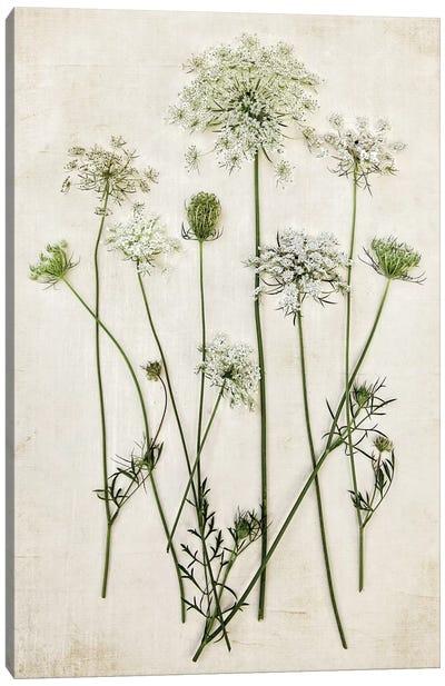 Queen Annes Lace Canvas Art Print