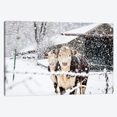 Winter Cows Canvas Print #DEO99} by Debbra Obertanec Canvas Art Print