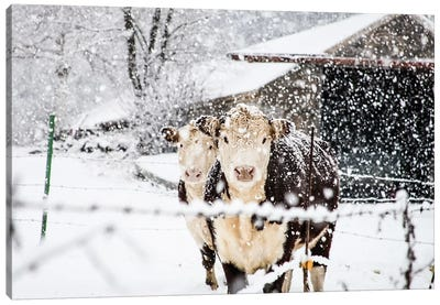Winter Cows Canvas Art Print