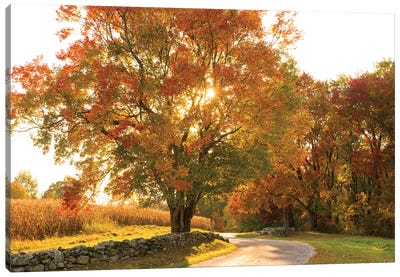 Maple Tree Drive Canvas Art Print
