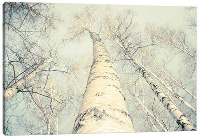 Birch Trees II Canvas Art Print