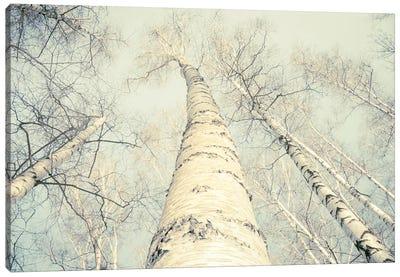 Birch Trees II Canvas Art Print