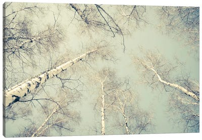 Birch Trees III Canvas Art Print
