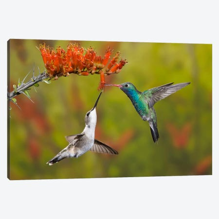 Broad-Billed And Black-Chinned Hummingbirds Sharing An Ocotillo (Jacob's Staff) Bloom, Sonoran Desert, Arizona, USA Canvas Print #DGR1} by Don Grall Canvas Artwork