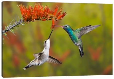 Broad-Billed And Black-Chinned Hummingbirds Sharing An Ocotillo (Jacob's Staff) Bloom, Sonoran Desert, Arizona, USA Canvas Art Print