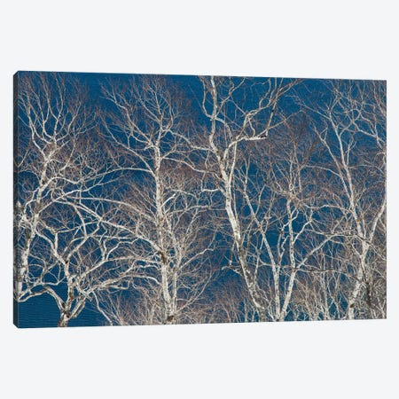 Birch trees along the shoreline of Lake Mashu, Hokkaido, Japan. Canvas Print #DGU115} by Darrell Gulin Canvas Art Print
