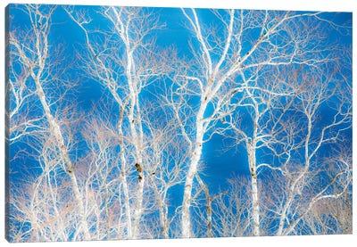 Birch trees along the shoreline of Lake Mashu, Hokkaido, Japan. Canvas Art Print