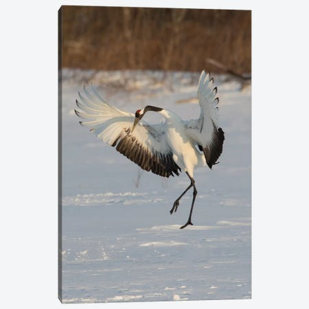 Rare red-crowned crane of Northern Island of Hokkaido, Japan Canvas Print #DGU124} by Darrell Gulin Canvas Wall Art