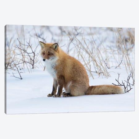 Red fox sitting in snow Canvas Print #DGU129} by Darrell Gulin Art Print