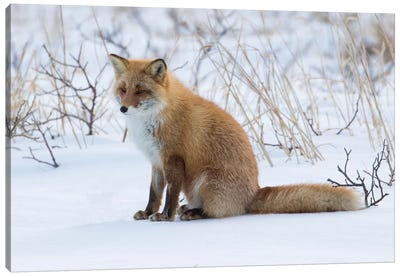 Red fox sitting in snow Canvas Art Print