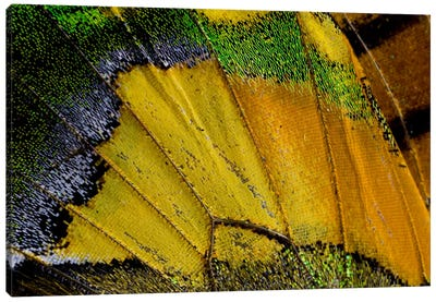 Butterfly Wing Macro-Photography V Canvas Print #DGU12