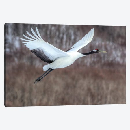 Red-crowned crane flying Canvas Print #DGU130} by Darrell Gulin Canvas Wall Art