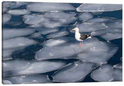 Seagull on pancake ice along Shiretoko Peninsula winter northern Hokkaido Island, Japan Canvas Art Print