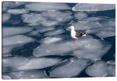 Seagull on pancake ice along Shiretoko Peninsula winter northern Hokkaido Island, Japan Canvas Art Print