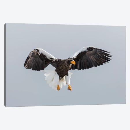 Steller's Fish Eagle flying. Wintering on the Shiretoko Peninsula, Hokkaido, Japan. Canvas Print #DGU138} by Darrell Gulin Canvas Artwork