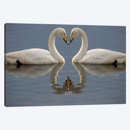 Whooper swans bill to bill on frozen Lake Kussharo, Hokkaido. Canvas Print #DGU149} by Darrell Gulin Canvas Art Print
