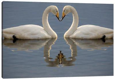 Whooper swans bill to bill on frozen Lake Kussharo, Hokkaido. Canvas Art Print