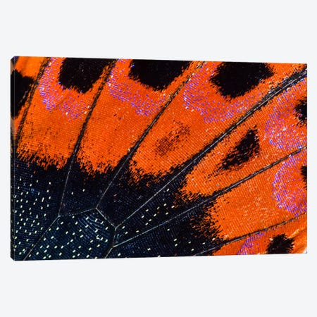 Butterfly Wing Macro-Photography VIII Canvas Print #DGU15} by Darrell Gulin Canvas Print