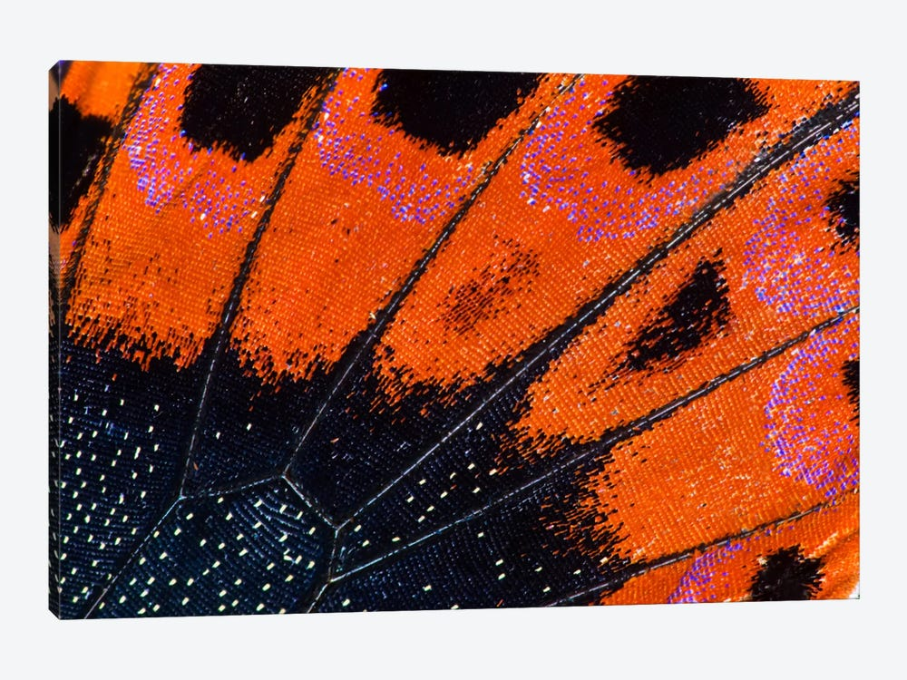 Butterfly Wing Macro-Photography VIII by Darrell Gulin 1-piece Canvas Wall Art