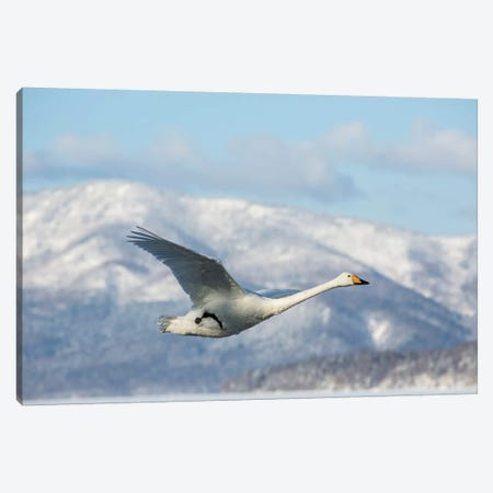 Whooper swans on frozen Lake Kussharo, Hokkaido. Canvas Print #DGU161} by Darrell Gulin Canvas Print