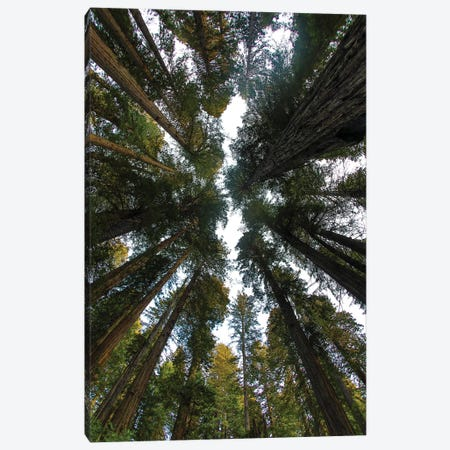 Looking Up Into Grove Of Redwoods, Del Norte Coast Redwoods State Park, California 3-Piece Canvas #DGU165} by Darrell Gulin Canvas Artwork