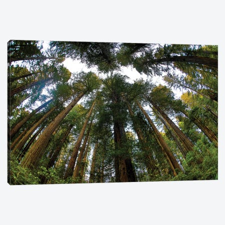 Looking Up Into Grove Of Redwoods, Del Norte Coast Redwoods State Park, California 3-Piece Canvas #DGU166} by Darrell Gulin Canvas Art