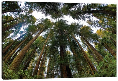 Looking Up Into Grove Of Redwoods, Del Norte Coast Redwoods State Park, California Canvas Art Print